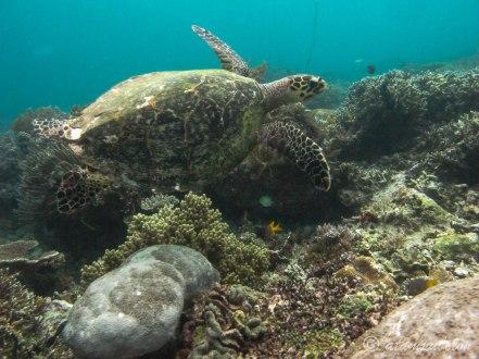 turtle in Sawindarek